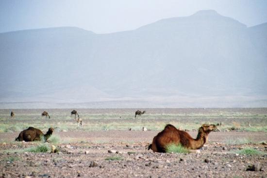 Die Landschaft glich mehr einer Steppe - Kamele sorgen für Wüstencharme