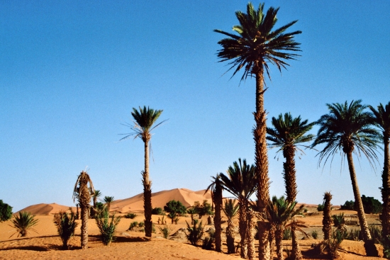 Palmen zeigen eine nahe Wasserstelle an