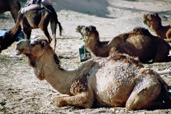 Kann man auch kaufen - Kamele in der Stadt