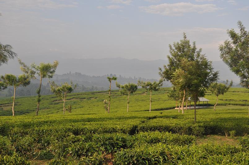 Teeplantagen praegen die Landschaft in diesem Teil Ugandas